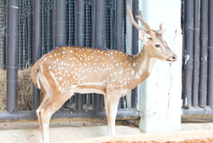 Chital, Cheetal, Spotted Deer Or Axis Deer. Chital, Cheetal, Spotted Deer Or Axis Deer In The Zoo Royalty Free Stock Photos