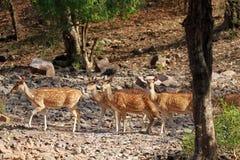 Chital. Ranthambore National Park, India Stock Photography