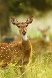Chital: Ciervos manchados Fotografía de archivo