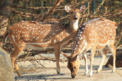 Chital deer Royalty Free Stock Photos