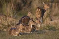 Chital  Deer Royalty Free Stock Images