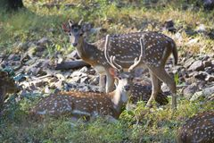 Chital  Deer Stock Photography