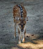 Chital deer Axis axis. Beautiful chital deer Axis axis full body shot Stock Images