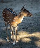 Chital deer Axis axis. Beautiful chital deer Axis axis full body shot Royalty Free Stock Photo