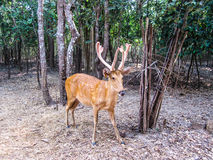 Chital deer, Axis deer, Spotted deer in Ubon ratchathani zoo Tha Stock Images