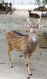 Chital deer with beautiful antler Royalty Free Stock Photo