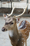 Chital deer with beautiful antler Stock Photography