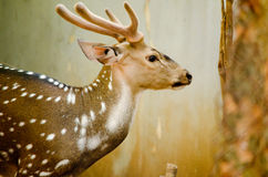 Chital is deer Stock Photo
