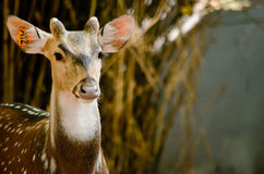 Chital is deer Royalty Free Stock Photography