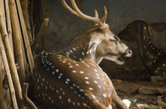 Chital is deer. Chital or cheetal deer (Axis axis), also known as spotted deer or axis deer in the forest Royalty Free Stock Image