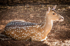 Chital Deer Doe (Axis axis) Lying on the Ground Royalty Free Stock Images