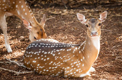 Chital Deer Doe Lying on Ground Looking at Camera Stock Photography