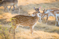Chital Deer Doe Royalty Free Stock Photo