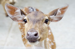 Chital deer face Royalty Free Stock Photography