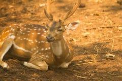 Chital deer Royalty Free Stock Image