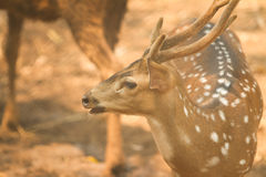 Chital deer Royalty Free Stock Photography
