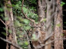 Chital deer in the jungle royalty free stock photo