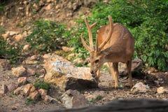 Chital deer Stock Photos