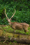 Chital is deer ,live in forest and is herbivorous Royalty Free Stock Image