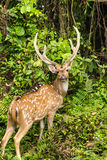 Chital is deer ,live in forest and is herbivorous Stock Image