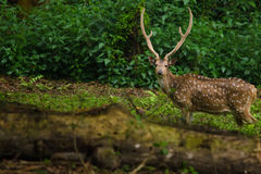 Chital is deer ,live in forest and is herbivorous Royalty Free Stock Images