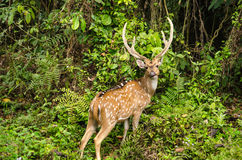 Chital is deer ,live in forest and is herbivorous. Chital or cheetal deer (Axis axis), also known as spotted deer or axis deer in the forest Stock Photos