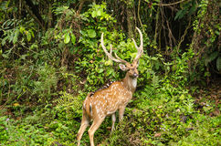 Chital is deer ,live in forest and is herbivorous Royalty Free Stock Photo