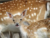 Chital deer mother and child Stock Images