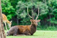 Chital deer , Spotted deer , Axis deer on raining day Stock Images