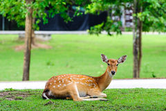 Chital deer , Spotted deer , on raining day Stock Photo