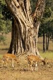 Chital Deer under Old Tree in Kanha National Park, India Royalty Free Stock Photography