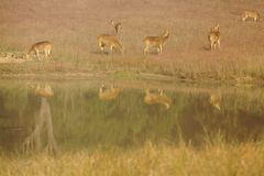 Chital Deer at Watering Hole in Kanha National Park, India Stock Image