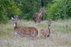 Chital  Deers Stock Photos