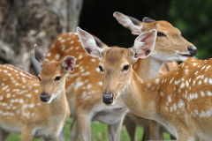Chital deers mother and child Royalty Free Stock Image