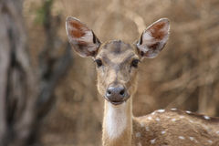 Chital Doe 05. A curious chital watching from the roadside Stock Photo