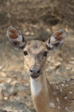 Chital Doe. A young female Chital (spotted deer) looks up in alarm at the Bandipur National Park, Karnataka State, India Stock Photos