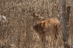 Chital Doe 3. A chital looking for her herd in the Mudumalai/Bandipur jungles Stock Photos