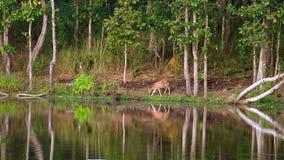 Chital eller Cheetal axelaxel, också som är bekant som prickiga hjortar som betar bredvid sjön arkivfilmer
