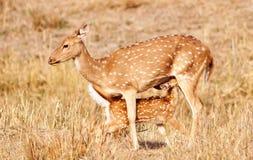 Chital eller cheetal deers (axelaxeln), Royaltyfri Bild