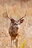 Chital eller cheetal hjortar (axelaxeln), Royaltyfria Bilder