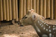 Chital es ciervo Fotografía de archivo libre de regalías