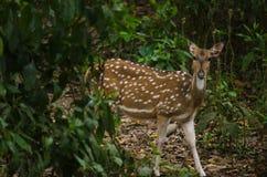 Chital est cerf commun, vit dans la forêt et est herbivore Image libre de droits