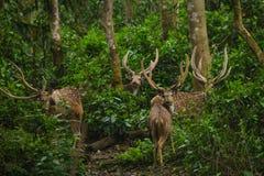 Chital est cerf commun, vit dans la forêt et est herbivore Photos stock