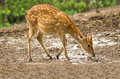 Chital in forest. Chital eat water in Nation park Stock Images