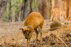 Chital in forest. Chital life  in Nation park Royalty Free Stock Photo