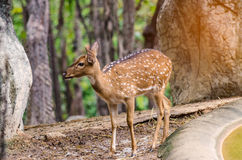 Chital in forest. Chital life  in Nation park Stock Images