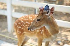 Chital hjortar Fotografering för Bildbyråer