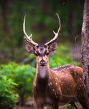 Chital hjortar - prickiga hjortar eller axelhjortar royaltyfria foton