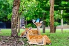 Chital hjortar, prickiga hjortar, axelhjortar på att regna dag Royaltyfri Foto