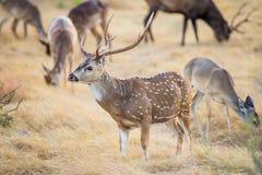 Chital hjortbock Royaltyfri Foto